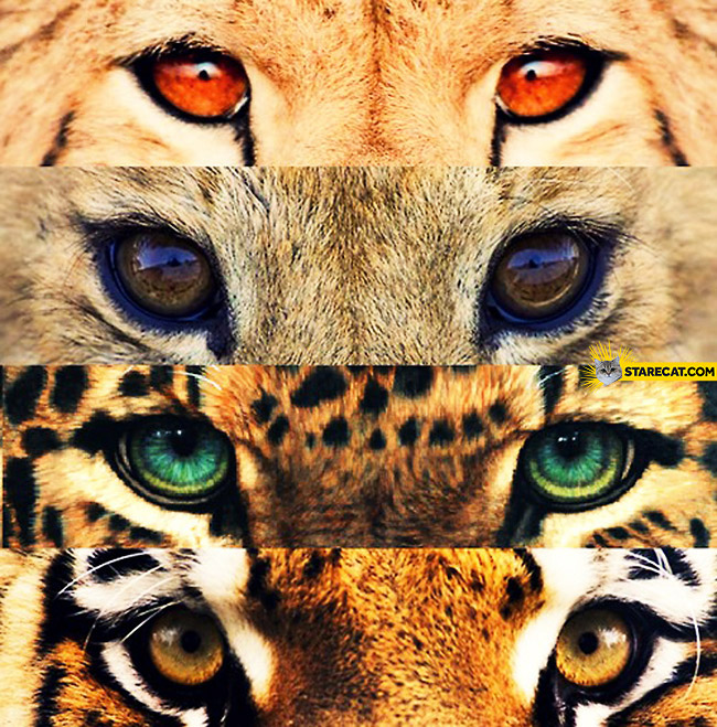 Wild cats eyes closeup